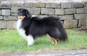 SPECIAL-OPEN-TRICOLOUR-BLACK-WHITE-BLACK-TAN-dog