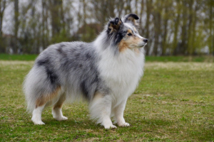 Special-Open-Blue-Merle-Bitch