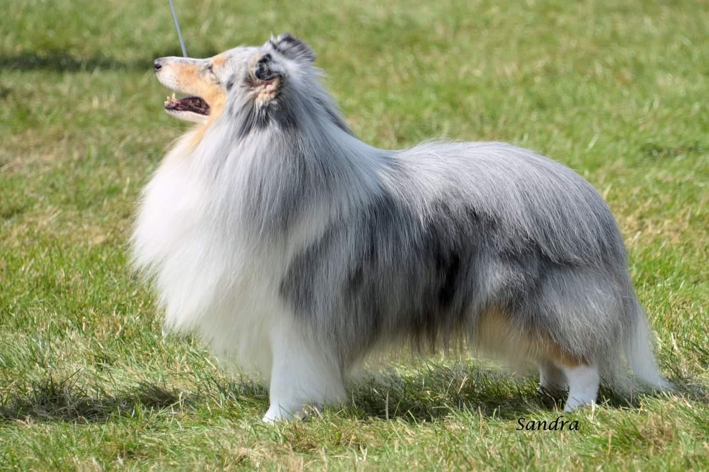 The Yorkshire Shetland Sheepdog Club